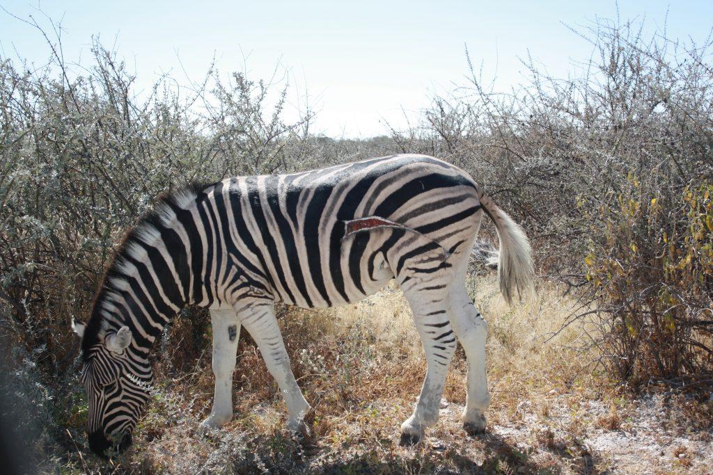 Wounded Zebra in Etosha