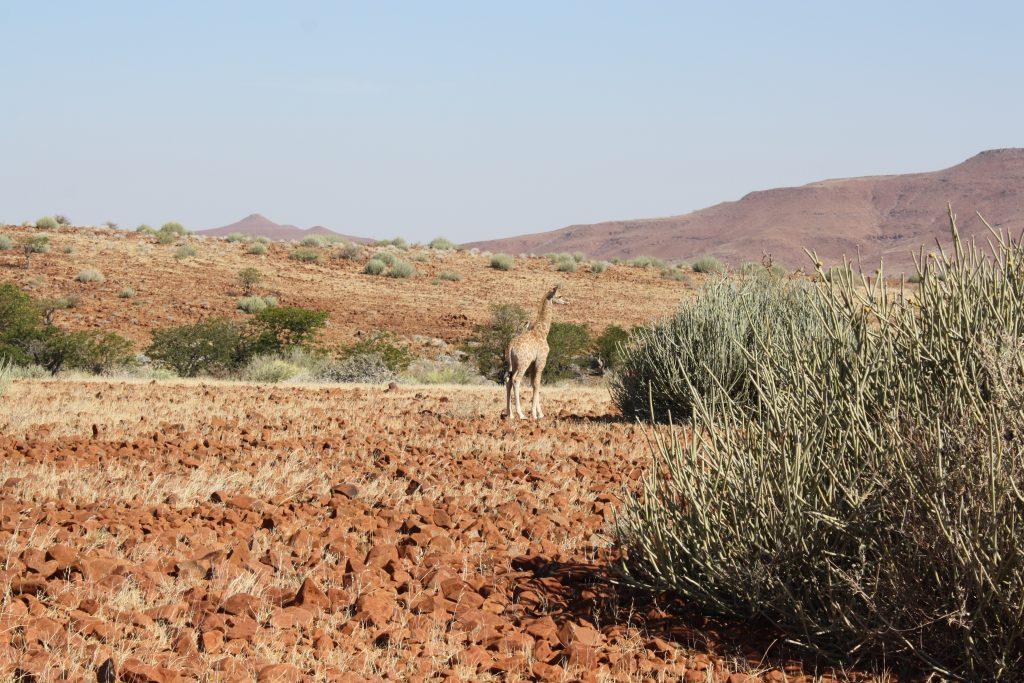 Giraffe in Palmwag